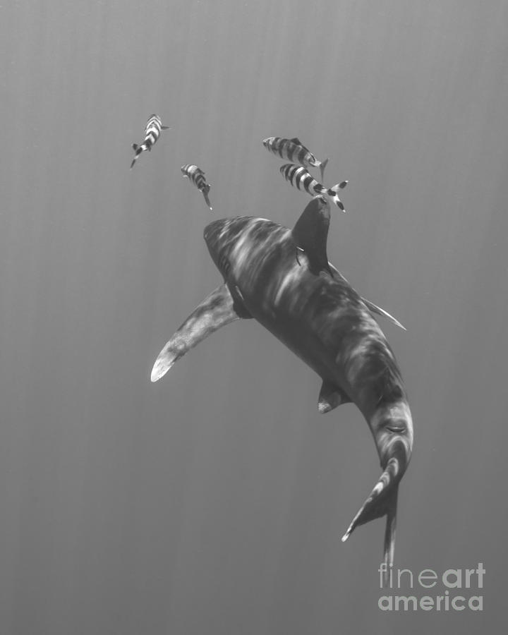 Oceanic Whitetip Shark Chasing A Group Photograph