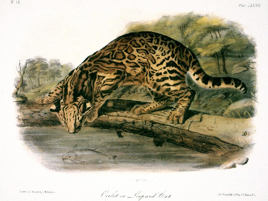 Ocelot - Felis Pardalis Drawing