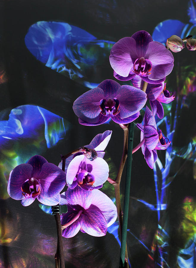 Orchidream by Richard Thomas