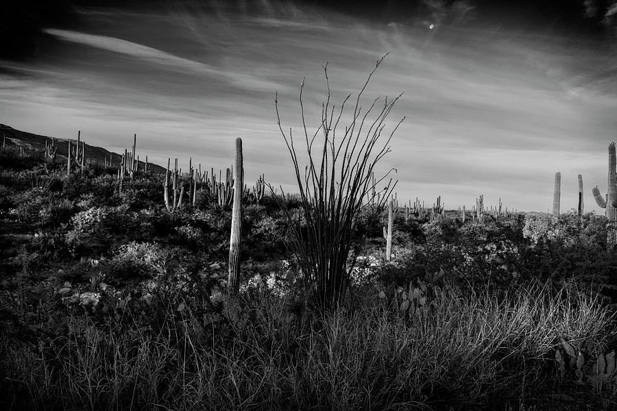 Ocotillo and Saguaros by Sandra Selle Rodriguez