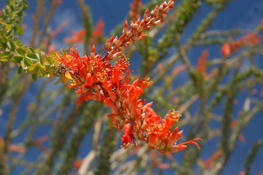 Ocotillo Photograph - Ocotillo Blossomj by Brian Lockett