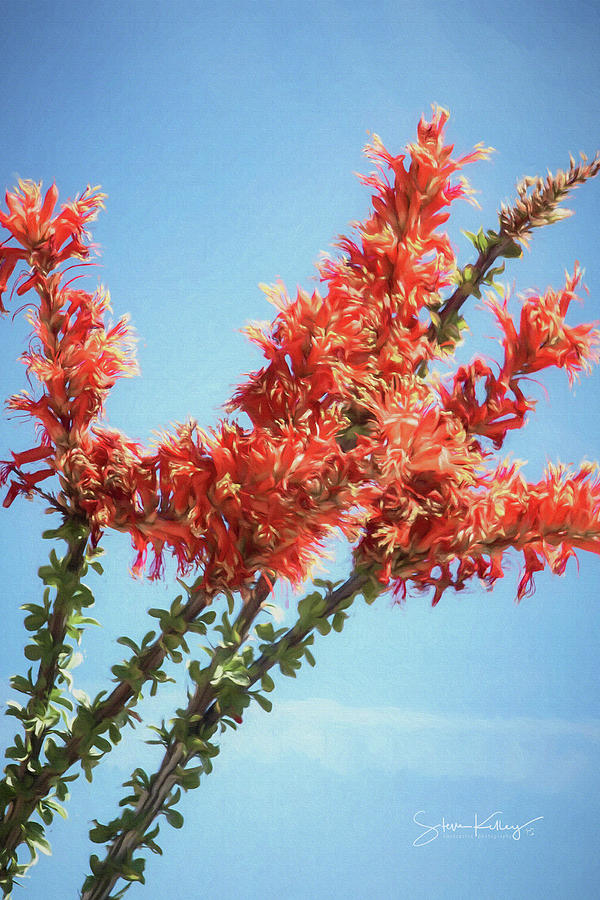 Ocotillo in Bloom by Steve Kelley