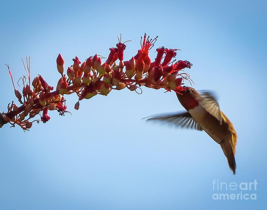 Ocotillo N Hummingbird Sunrise Photograph