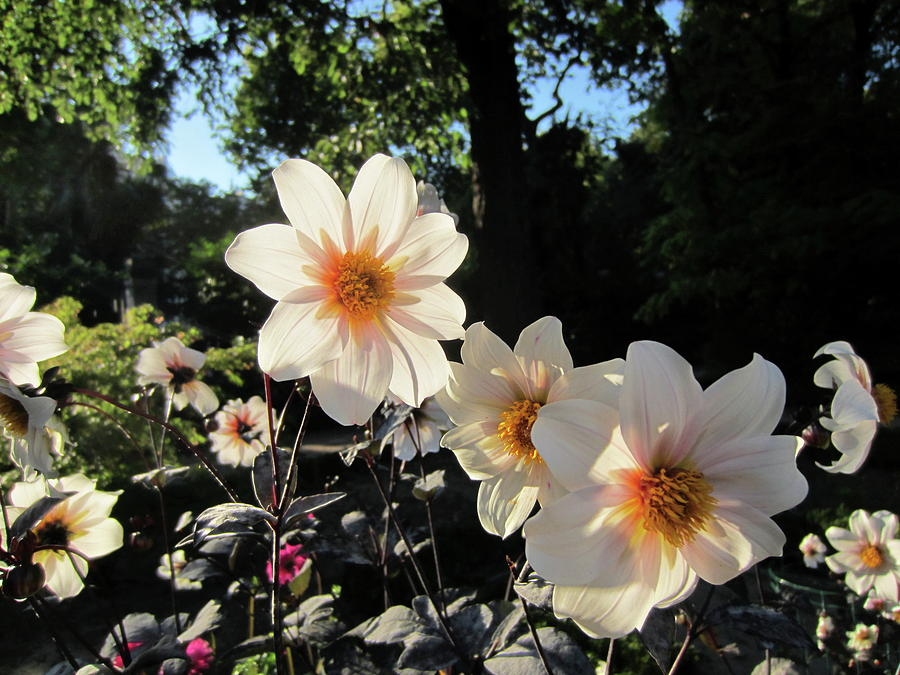 October Dahlias by Laura Davis