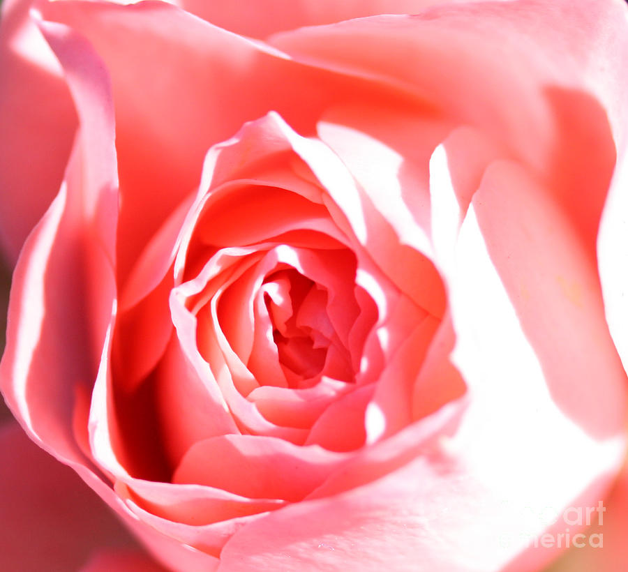 Flowers Photograph - October Rose Close Up by Nick Gustafson