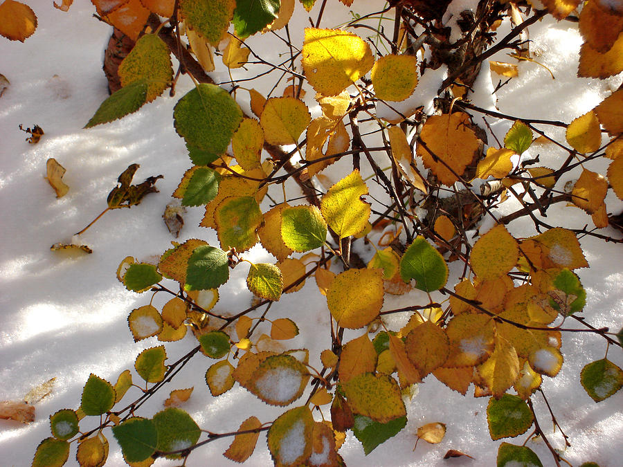 Aspen Leaves Photograph - October Snow by Marilynne Bull