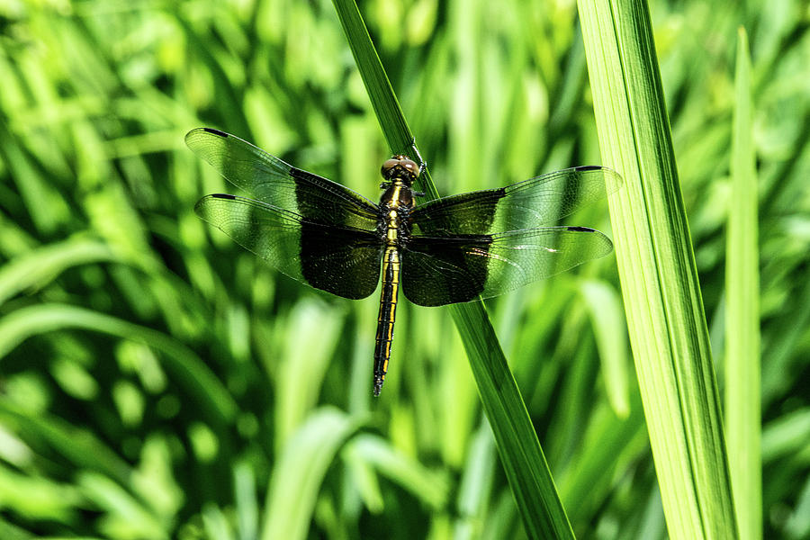 Dragonfly Photograph - Odanate With Wings Spread by Douglas Barnett