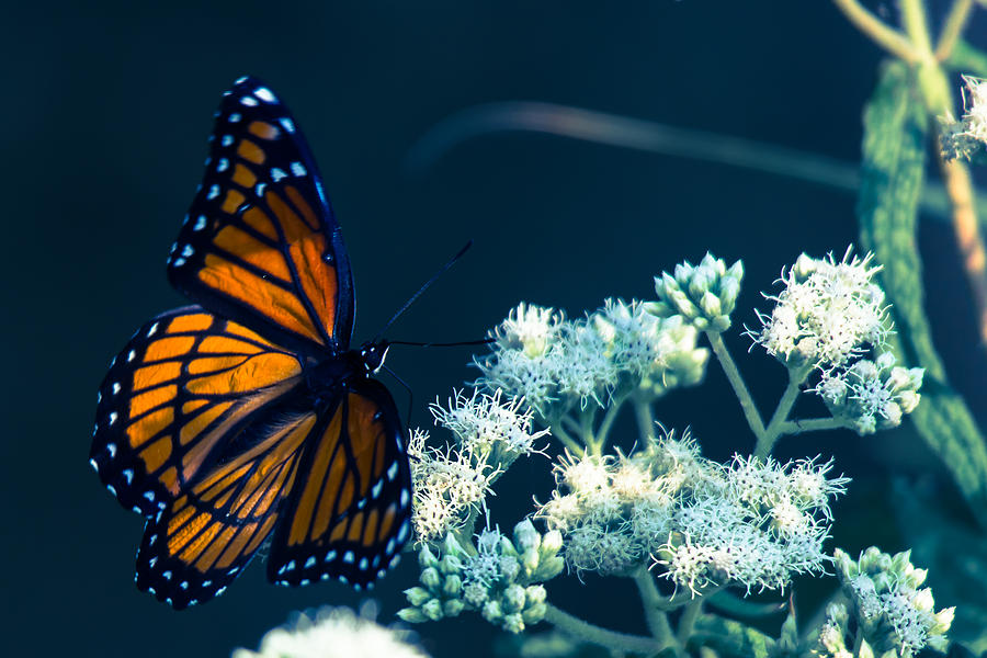 Butterfly Photograph - Offer Of Forgivness  by Kristin Hunt