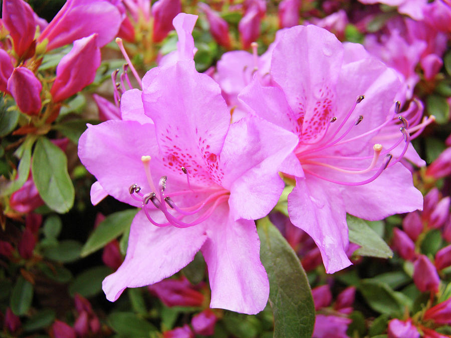 Office art pink azalea flower garden 3 giclee art prints baslee flower photograph office art pink azalea flower garden 3 giclee art prints baslee troutman by mightylinksfo