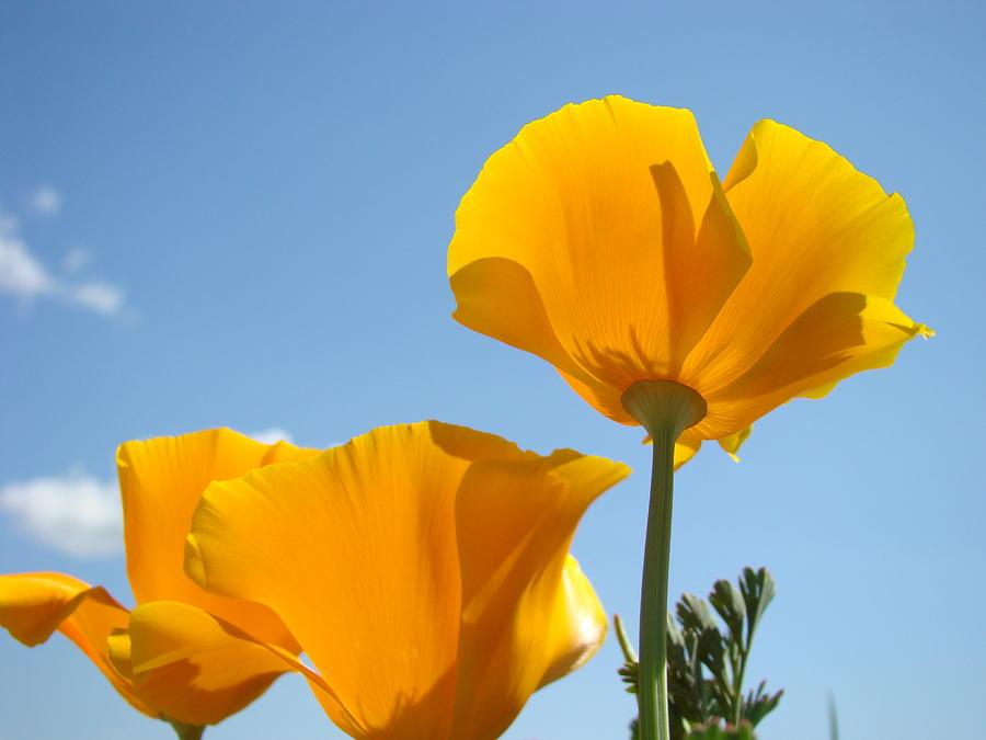 Office Art Prints Poppies Poppy Flowers Blue Skies Giclee Baslee
