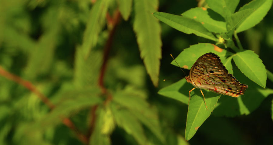Offset Image of a Brown Butterfly by Vincent Billotto