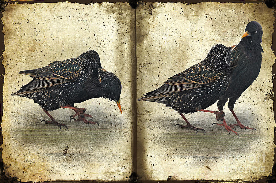 Starlings Photograph - Oh No You Didnt by Lois Bryan