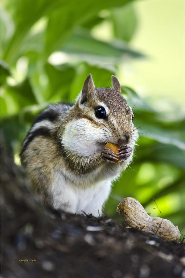 Chipmunk Photograph - Oh Nuts by Christina Rollo