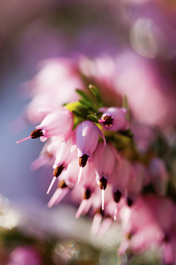 Oh so pink heather flower photograph by marie jamieson heather photograph oh so pink heather flower by marie jamieson mightylinksfo