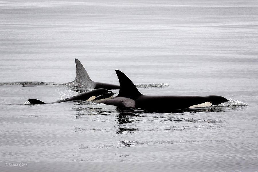 Ohh Orca by Deana Glenz