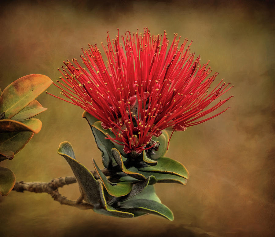 Red Flower Photograph - Ohia Lehua Flower Volcanos National Park by Martin Belan