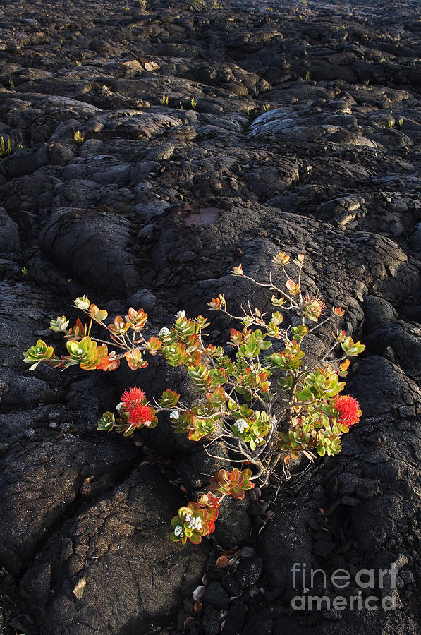 Beginning Photograph - Ohia Lehua by Greg Vaughn - Printscapes