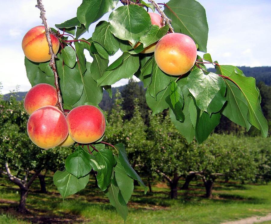Apricots Digital Art - Okanagan Apricots by Will Borden