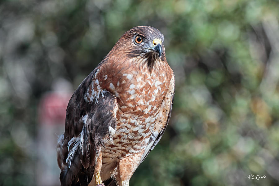 Okeeheelee Nature Center - Mia The Broad-winged Hawk ...