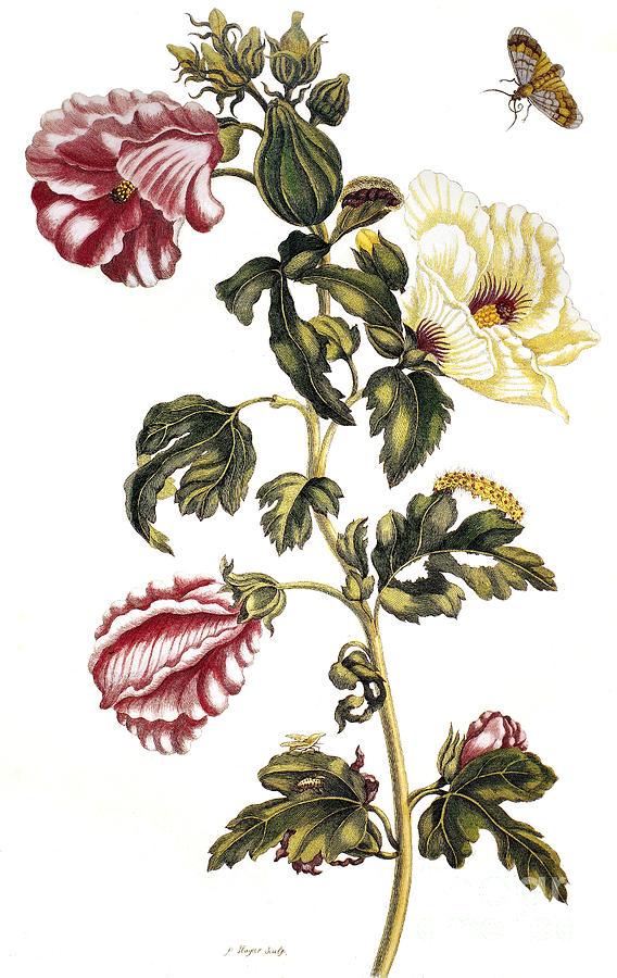 1705 Photograph - Okra by Granger