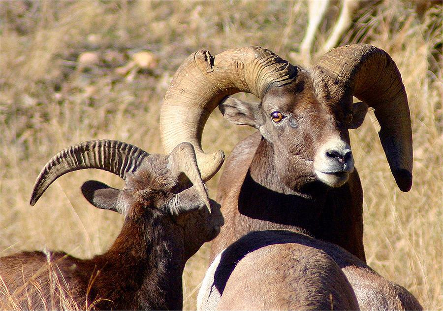Bighorn Photograph - Old and Young by Perspective Imagery