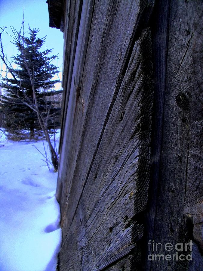 Old And Young Spruce Photograph by The Stone Age