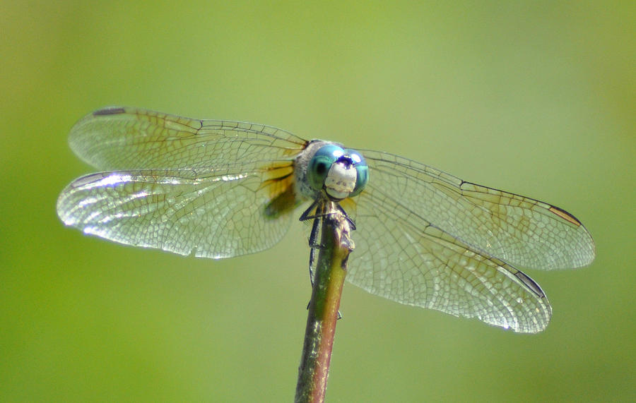 Blue Dragonfly Photograph - Old Blue Eyes - Blue Dragonfly by Bill Cannon