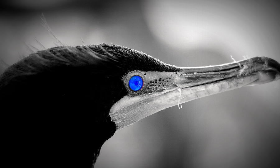 Double-crested Cormorant Photograph - Old Blue Eyes Is Back by Imagery-at- Work