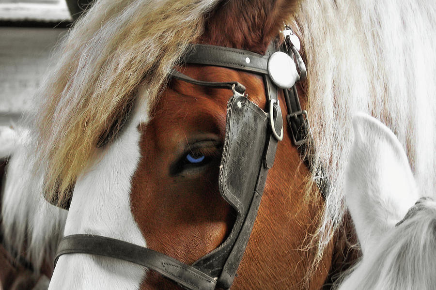 Horse Photograph - Old Blue Eyes Savannah by JAMART Photography