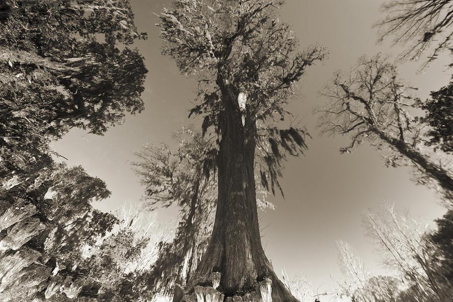 South Carolina Photograph - Old Cypress Tree by Dustin K Ryan
