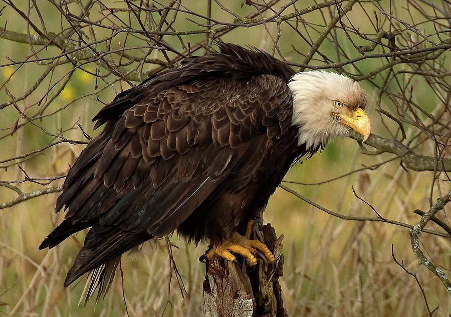 Bald Eagle Photograph - Old Eagle by Sheldon Bilsker