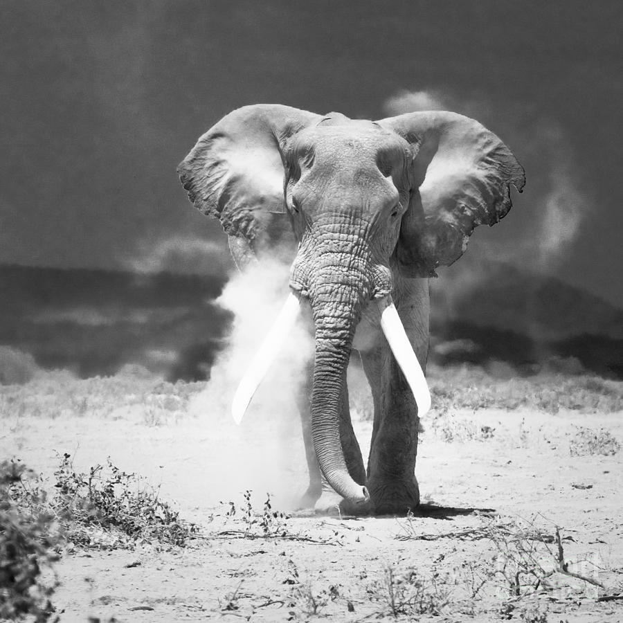 Elephant photography the image kid has it for Old black and white photos for sale