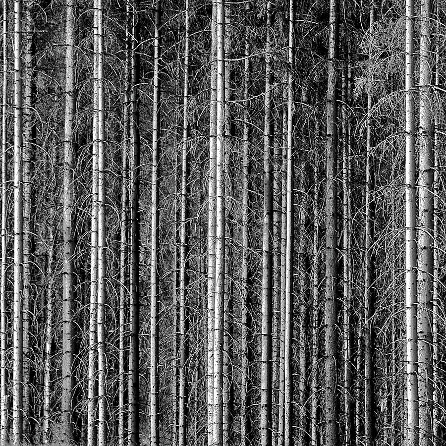Square Photograph - Old Forrest by Kristian Westgård