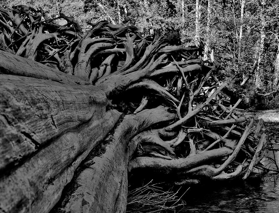 Old Growth Driftwood Photograph