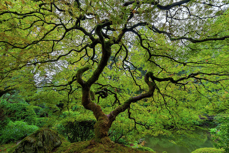 Maple Tree Photograph - Old Japanese Maple Tree by David Gn