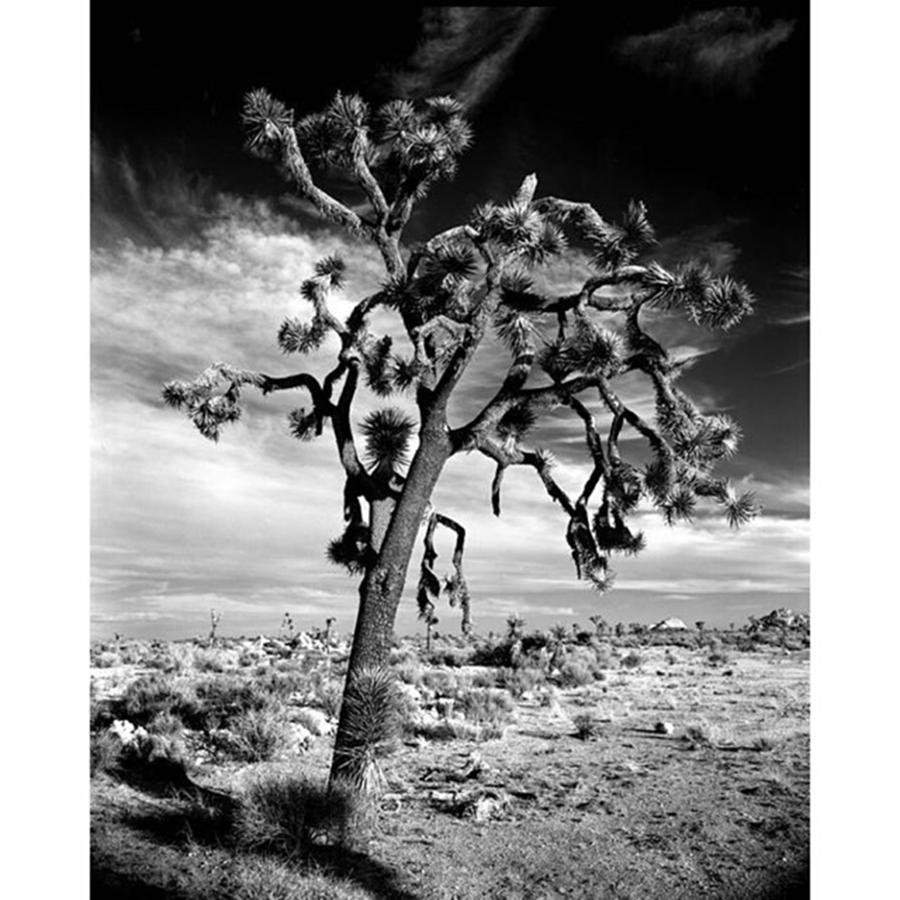 Blackandwhite Photograph - Old Joshua Tree At Sunset. This Is One by Alex Snay