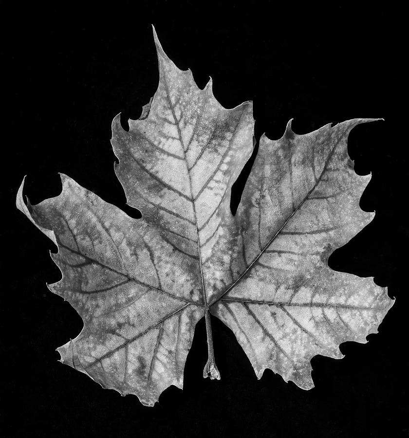 One photograph old leaf black and white by garry gay