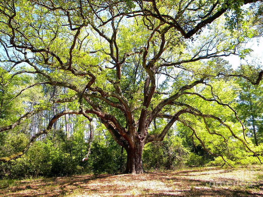 Oak Photograph - Old Man In Spring Color by JoAnn Wheeler