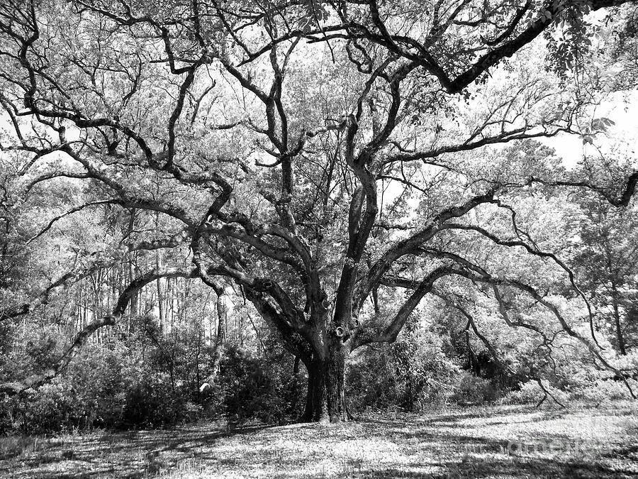 Oak Photograph - Old Man In Spring by JoAnn Wheeler