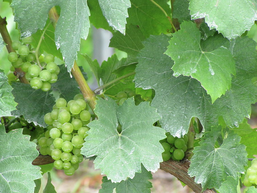 Grapes Photograph - Old Mission Jewels by Kelly Mezzapelle