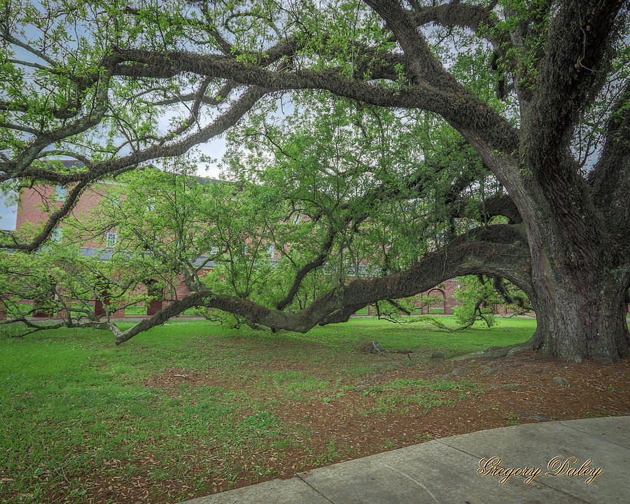 Old Oak Tree Photograph by Gregory Daley  MPSA