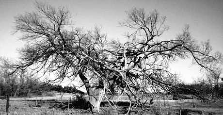 Old Oklahoma Tree Still Hanging On Photograph by Chad Taber