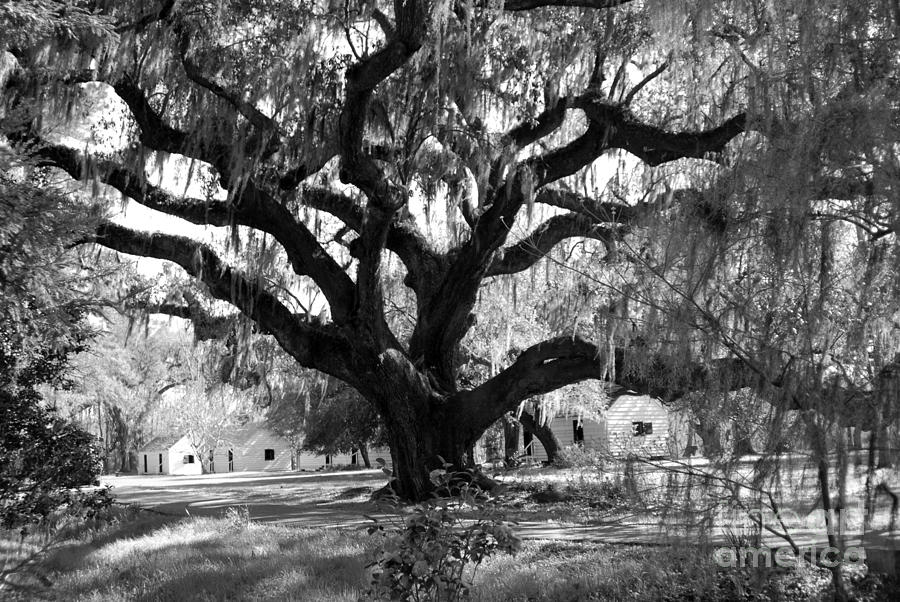 Old Photograph - Old Plantation Tree by Melody Jones
