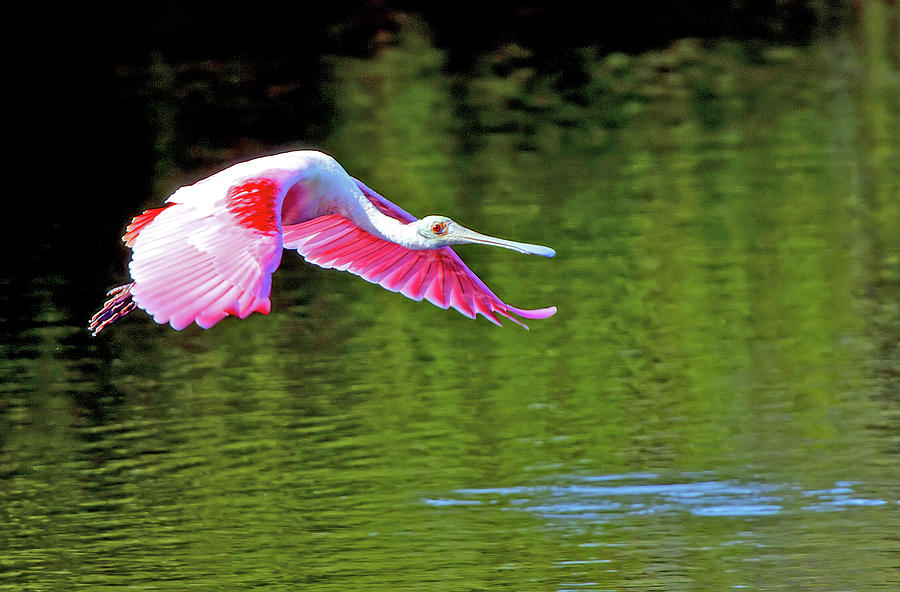 Spoonbill Photograph - Old Red Eye by Karl Ford