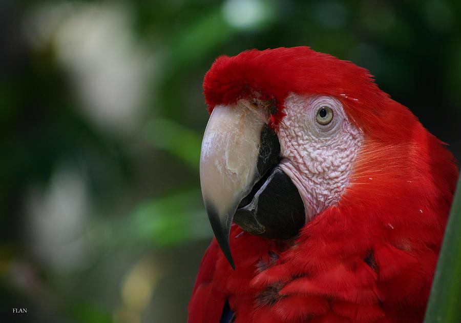Bird Photograph - Old Red Parrot by Ruben  Flanagan