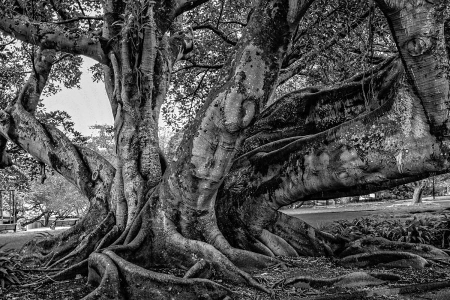 Old Tree Photograph
