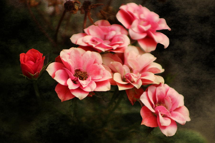 Fuchsia Pink Photograph - Old Victorian Fuchsia Pink Rose by Colleen Cornelius