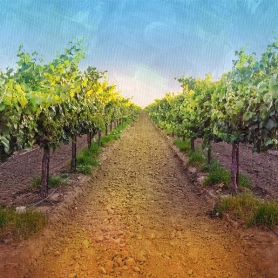 Vineyard Photograph - Old #vineyard Photo I Rescued From My by Shari Warren