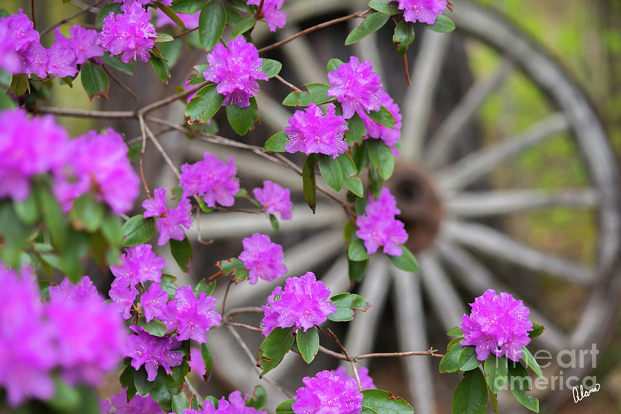 Old Wagon Wheel And Azalea Photograph