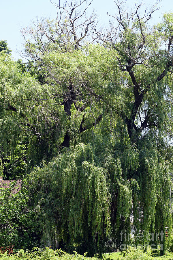 Old Willows by William Tasker